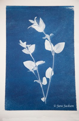 Cyanotype Periwinkle Small DSC_6803 copy