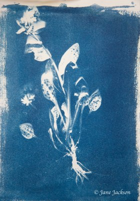 Cyanotype Pulminaria Small DSC_6802 copy